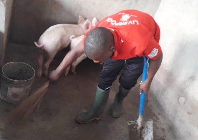 Neuer Stall mit Schweinen